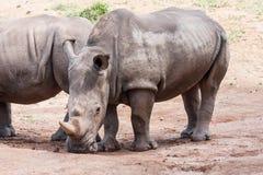 犀牛夫妇 库存图片