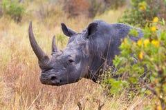 犀牛头是特写镜头 Meru,肯尼亚 库存照片