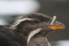 犀牛小海雀在阿拉斯加Sealife中心 图库摄影