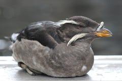 犀牛小海雀在阿拉斯加Sealife中心 库存照片