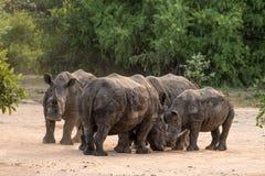 犀牛小组 库存照片