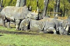 犀牛徒步旅行队 免版税库存照片