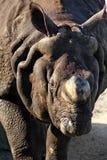 犀牛接近  免版税图库摄影