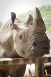 犀牛特写镜头在公开动物园里,泰国,从i的光 免版税库存图片