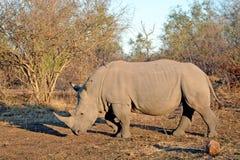 犀牛犀牛非洲大草原日出 免版税库存照片