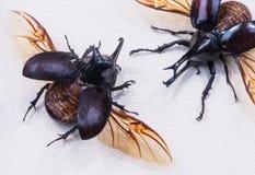 犀牛甲虫吉迪恩Xylotrupes gideon特写镜头对甜菜 免版税库存照片