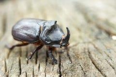 犀牛甲虫在树桩爬行 犀牛甲虫 库存图片