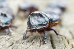 犀牛甲虫在树桩爬行 犀牛甲虫 图库摄影