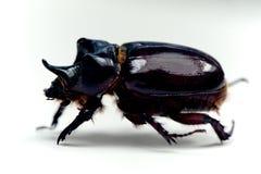 犀牛甲虫或dynastinae,金龟子系列 免版税库存照片