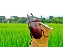 犀牛甲虫,在竹子的犀牛甲虫 图库摄影