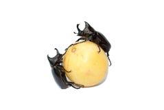 犀牛甲虫,犀牛甲虫,赫拉克勒斯甲虫,独角兽甲虫 图库摄影