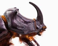 犀牛甲虫头 免版税图库摄影