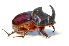 犀牛甲虫 免版税库存照片