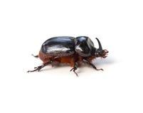 犀牛甲虫 免版税图库摄影