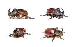 犀牛甲虫 图库摄影
