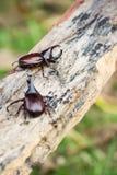 犀牛甲虫 免版税库存图片