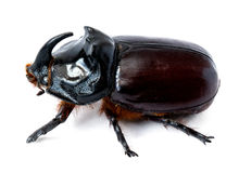 犀牛甲虫 库存照片