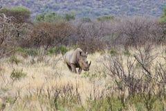 犀牛白色 图库摄影