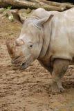犀牛白色 免版税库存图片