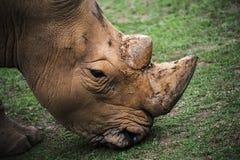 犀牛的特写镜头 免版税库存图片