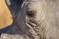 犀牛看起来眼睛的特写镜头哀伤在阳光下 免版税图库摄影