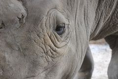 犀牛眼睛 免版税库存照片