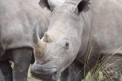 犀牛脸面护理 图库摄影