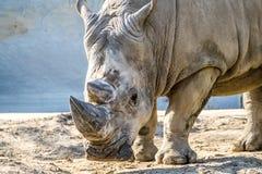 犀牛顶头画象在沙子的 免版税库存图片