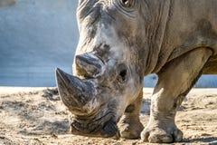 犀牛顶头画象在沙子的 库存照片