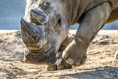 犀牛顶头画象在沙子的 免版税库存照片