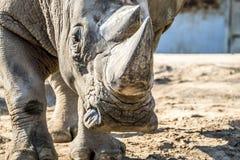 犀牛顶头画象在沙子的 库存图片
