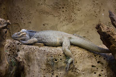 犀牛鬣鳞蜥 免版税库存图片