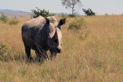 犀牛,犀牛,克鲁格国家公园 非洲著名kanonkop山临近美丽如画的南春天葡萄园 免版税库存图片
