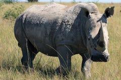 犀牛,犀牛,克鲁格国家公园 非洲著名kanonkop山临近美丽如画的南春天葡萄园 库存照片