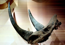 犀牛头骨和horne 免版税库存照片