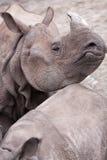 犀牛 库存照片