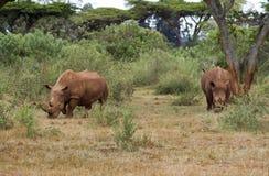 犀牛 免版税库存图片
