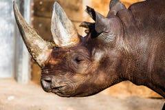 黑犀牛头   免版税库存图片