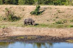 犀牛 免版税图库摄影