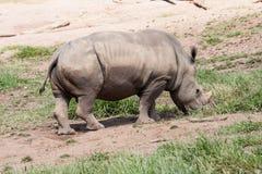 犀牛Itatiba动物园圣保罗巴西 免版税库存图片
