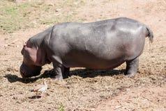犀牛Itatiba动物园圣保罗巴西 库存照片