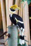 犀鸟印地安人 免版税库存照片