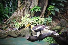 犀鸟在木头单独站立在森林里 免版税库存照片