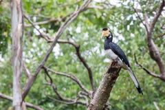 犀鸟在栖所 免版税库存图片