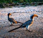 犀鸟鸟本质上 免版税库存图片