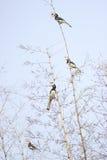 犀鸟malabar染色 库存照片
