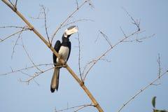 犀鸟malabar染色 库存图片