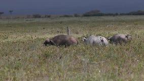 黑犀,黑犀属bicornis,成人干扰的水牛城,纳库鲁公园在肯尼亚, 影视素材