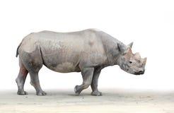 黑犀(黑犀属bicornis)。 免版税库存图片