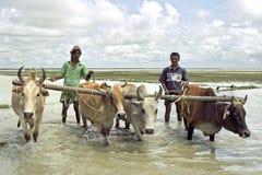 犁与黄牛米领域的孟加拉国的农夫 免版税图库摄影
